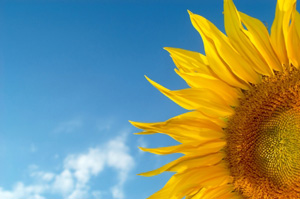 Your Coaching Business: charge what you're worth – as a sunflower charges its worth?