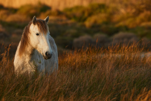 White horse of Camargue free in the swamp