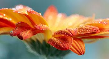 Orange Daisy Gerbera