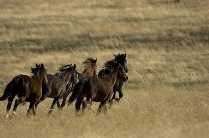 wild horses running in the grass